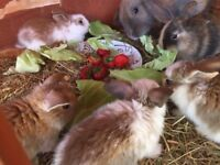 Adorable baby lop ear rabbits for sale