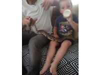 2/12 year old male royal python with viv and extras