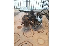 3 Xbengal kittens 3 weeks old ready in a few weeks
