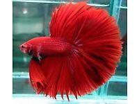 Super Delta Tail male Siamese Fighter fish £4.50