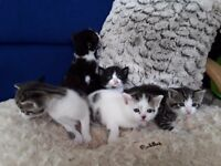 Mixed Litter of Kittens for Sale
