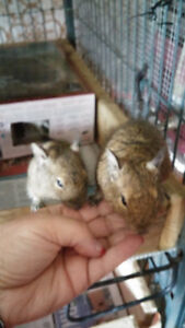 PRICE DROP 3 Male Degu's plus huge cage and all asseries