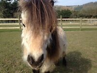 7h Shetland Ponies