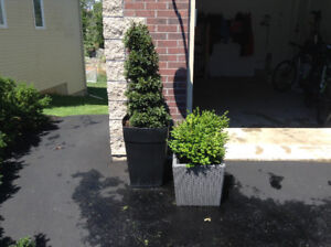 4 large garden urns with box woods and topiaries