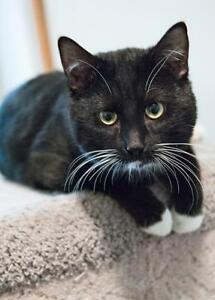 """Adult Male Cat - Tuxedo: """"Tucker"""""""