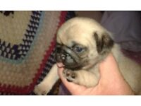 K.C. Reg Pug Puppies 1 Fawn Girl Left To Reserve