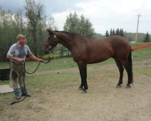 16+ hh Gelding, CB/QH, started heeling, all around potential