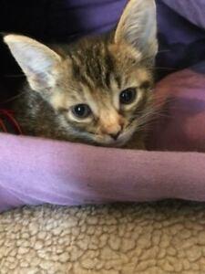 "Baby Female Cat - Domestic Short Hair: ""Ears"""