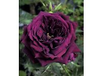 Anyone have 'The Prince' rose in their garden?