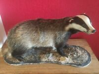 Taxidermy large adult badger