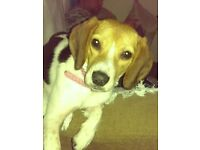 1yr old Beagle bitch for sale not spayed
