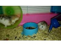 3 Dwarf hamsters and a cage for sale!