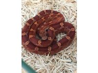 Baby corn snake 10 months old *Male*