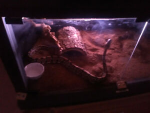 Adult ball python very good with being handled very well temper.