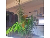 Dracaena marginata & avocado tree with 70lt pot height 210cm 6'9ft