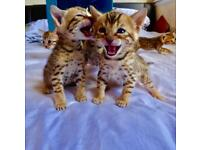 Bengal pedigree kittens