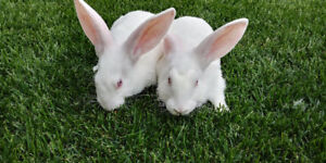 Meat Rabbits NZW: non-related breeding pair