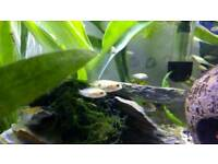 Jewel cichlid fry for sale