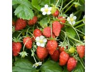 Strawberry Plants For Sale (5 pots for £1)