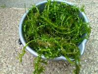 Oxygenating pond plant £5 bucket full