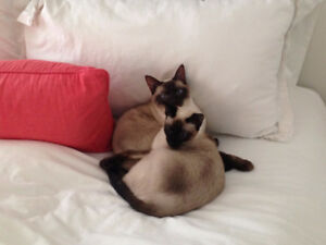 Siamese cats looking for forever home