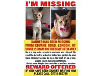 Lost male Abyssinian cream silver cat, chipped and neutered HOLLOWAY