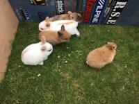 5 Baby rabbits £25 each