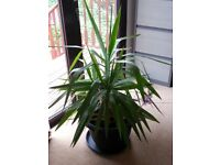 Yucca Plant Large & Healthy 4ft tall - Great Indoor Feature House or Office Plant