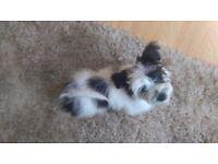 La-Chon (Bichon frise X Lhasa apso) puppy