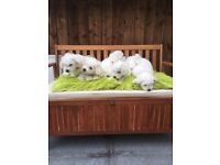 Bichon frise pedigree puppies for sale