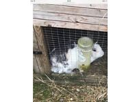 Very cute 7 month old female rabbit for sale good home only selling cause my ill health