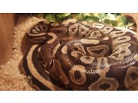 Royal (Ball) Python - Mojave Female and Complete Set Up