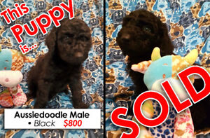 Sold Out taking names for waiting list Aussiedoodle Puppies