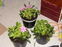 3 POTS OF PLANTS ASSTD new low price just 7pounds 50p the lot