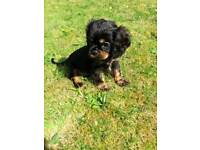 READY NOW KC REG CAVALIER KING CHARLES SPANIEL PUPPIES FOR SALE