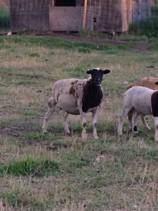 Dorper katadin x ewes and ewe lambs