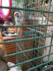 SOLD !  Aqua Marine and White Budgies for Sale