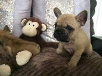 Healthy French bulldog Puppies , Ready from 3rd Sept