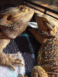 Breeding pair of bearded dragons with front opening tank