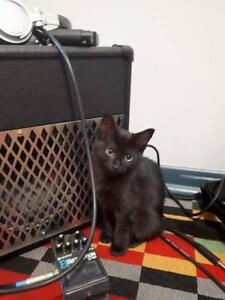 "Baby Female Cat - Domestic Short Hair (Black): ""Louise"""