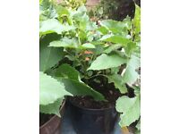 4 Large Cactus Dahlia Plants in large pot - good roots - ready to flower