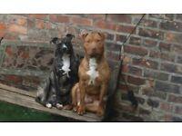american bulldog X mastiff puppies Ready now