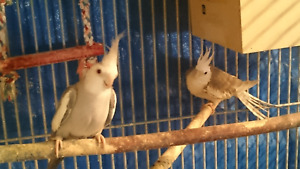 Whiteface cockatiels