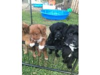 You Poodle x puppies stunning cinnamon black with packs
