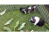 4 Baby Boy Guinea Pigs
