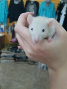 "Baby Female Small & Furry - Rat: ""Buttercup"""