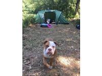 Lovely female olde tyme bulldog 9months old