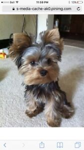 Looking for a yorkie