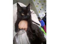Female black kitten for free