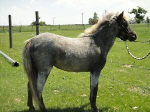 REGISTERED MINIATURE FILLY FOR SALE